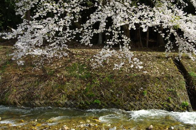 川沿いに咲く_201705_NO1