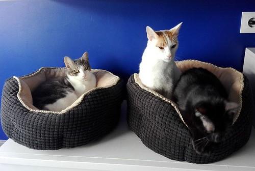 Gary, gatito blanco y naranja cruce Van Turco esterilizado muy activo nacido en Julio´16, en adopción. Valencia. ADOPTADO. 34843414711_4c5f1131b0