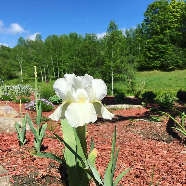 White iris added this year.