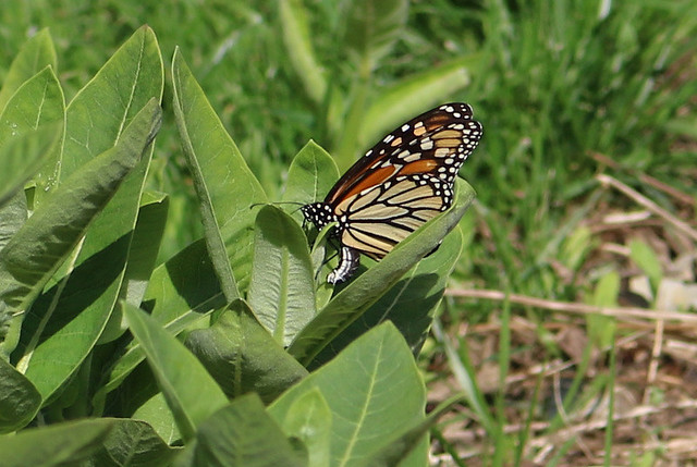 monarch butterfly with her abdomen curved to lay eggs on common milkweed