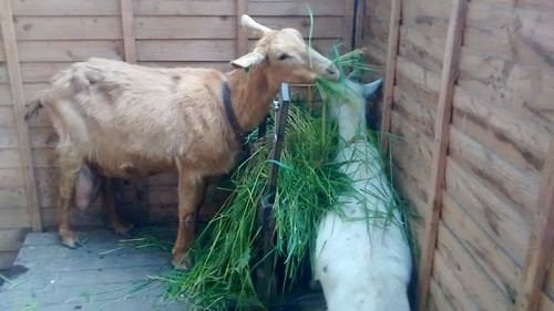 goats eating grass May 17 1