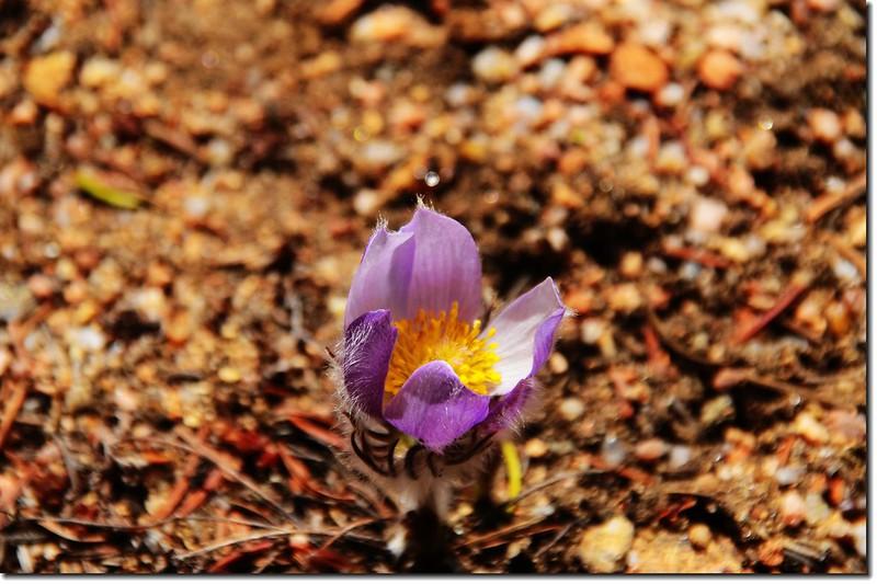 Pasque Flower 1