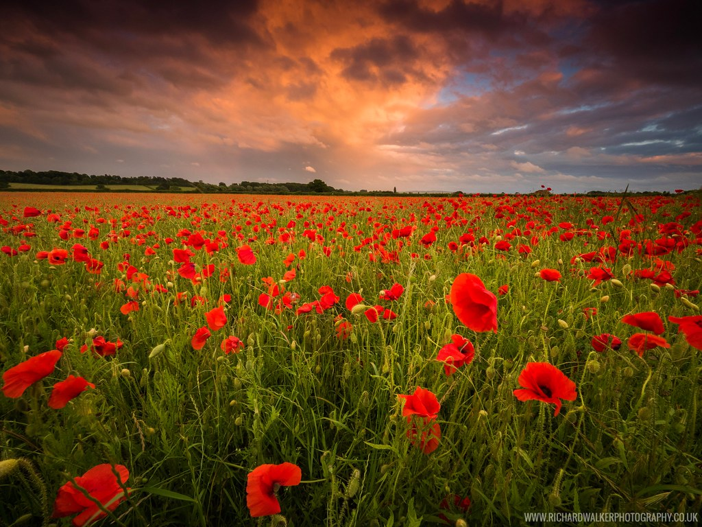 Poppy Field Sunset A Couple Of Weeks Ago Someone I Know