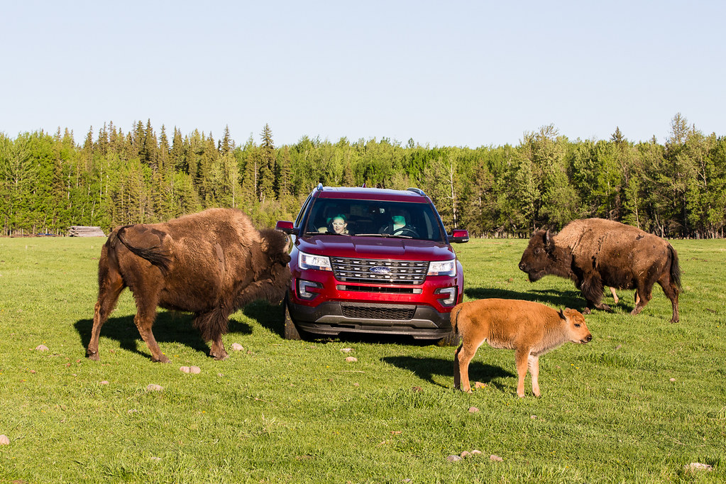 Bison and Ford