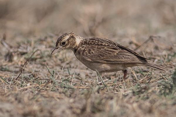 Indian Bushlark or Jerdon's Bushlark