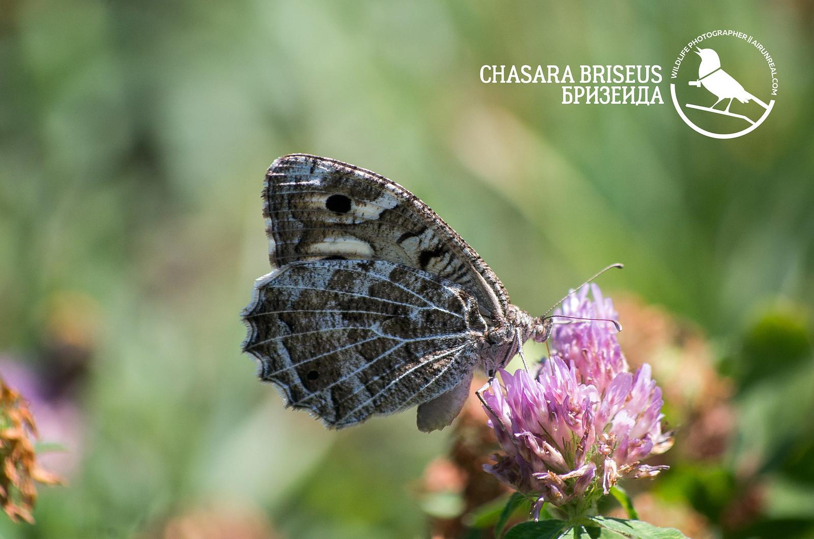 Chasara briseus // 20170524