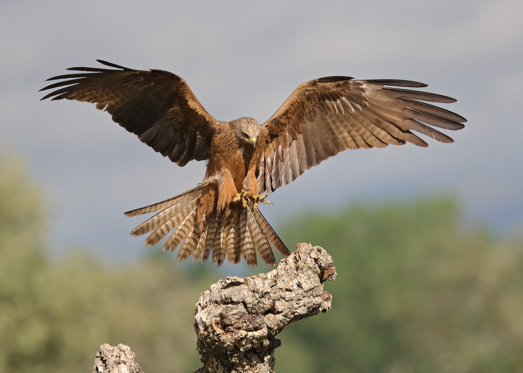 black kite (Milvus migrans