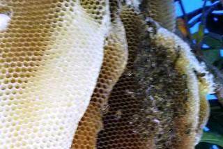 Noicattaro. Alveare api front