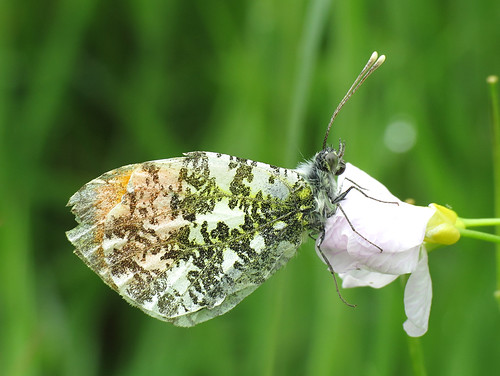 Orange Tip Anthocharis cardamines Tophill Low NR, East Yorkshire May 2017