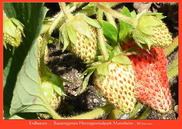 Gartenreisen / Pflanzenfotografie ... Der Bauerngarten im Mannheimer Herzogenriedpark ... Roter Fingerhut, Buchsbaum, Erdbeeren und anderes ... Fotos: Brigitte Stolle, Juni 2017