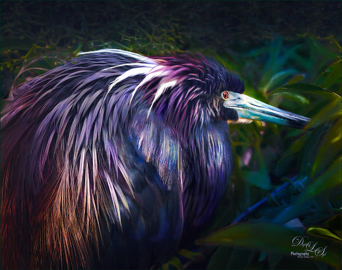 Image of tricolored heron at the St. Augustine Alligator Farm