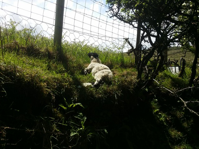 Harsh side of Dartmoor. A lamb died with its head trapped in a fence.