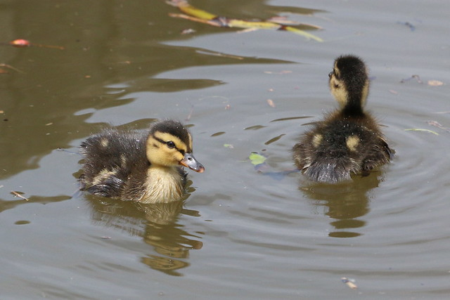 Ducklings!