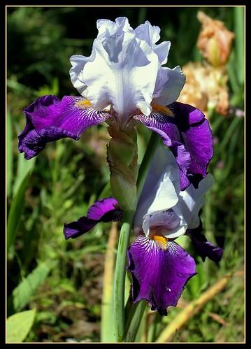 Iris 'Clair Obscur' - J-C. Jacob 2010 35176585755_c2ae247327