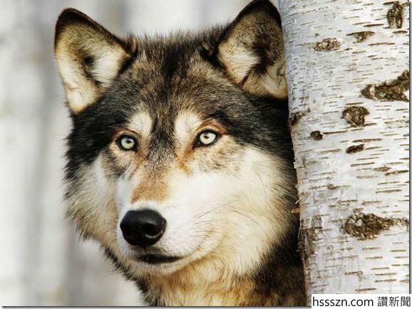 Wolf_thumb_578_434