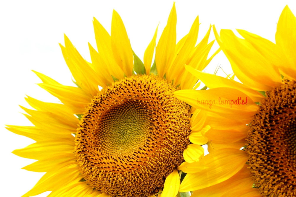 Kebun Bunga Matahari Megastar