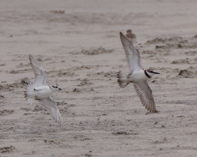 Snowy Plover Chasing Wilson's Plover - 5