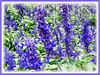 Lavandula (Lavender)