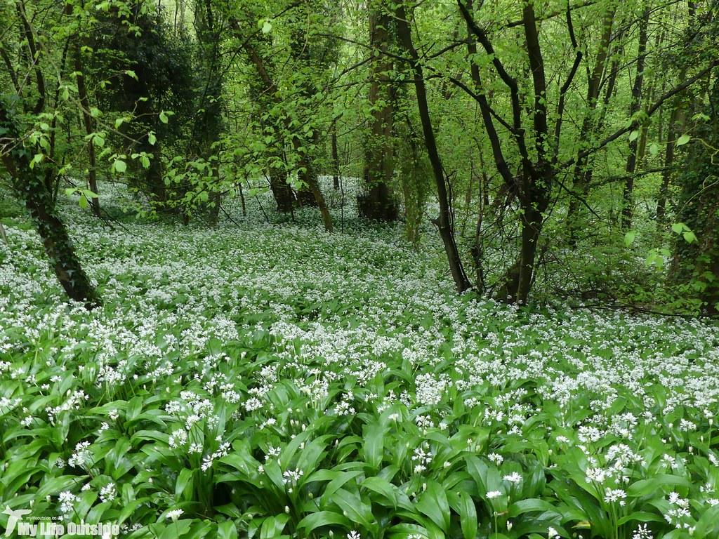 P1070741 - Wild Garlic, Llangollen Canal