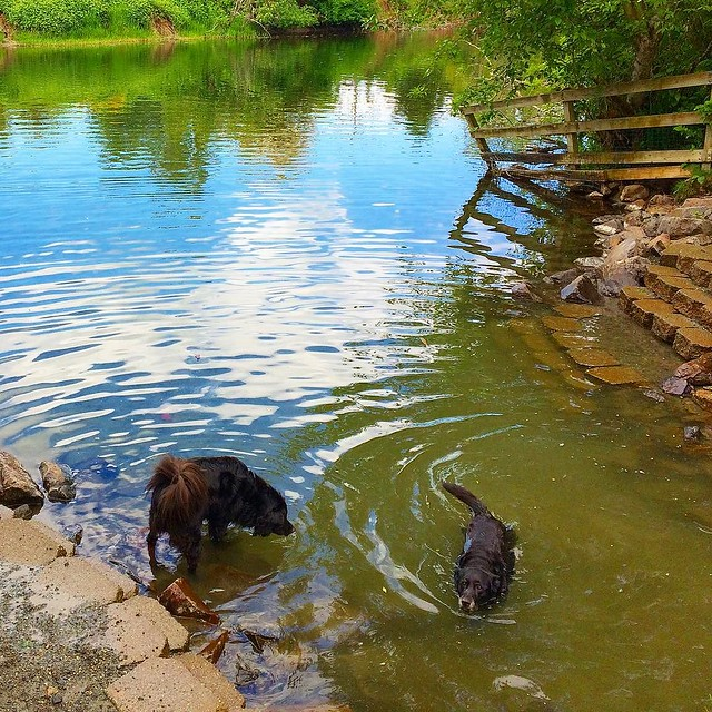 Black dogs keeping cool on a hot day. 💦