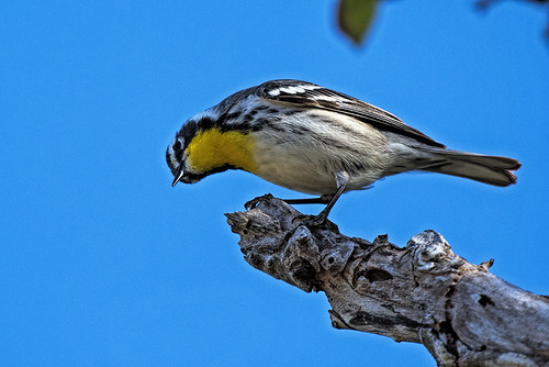 Cuba: Yellow-throated Warbler