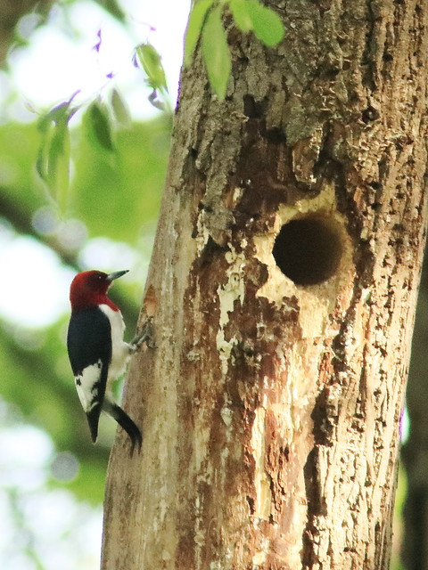 Red-headed Woodpecker 07-20170528