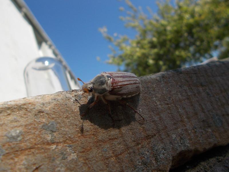 May Bug