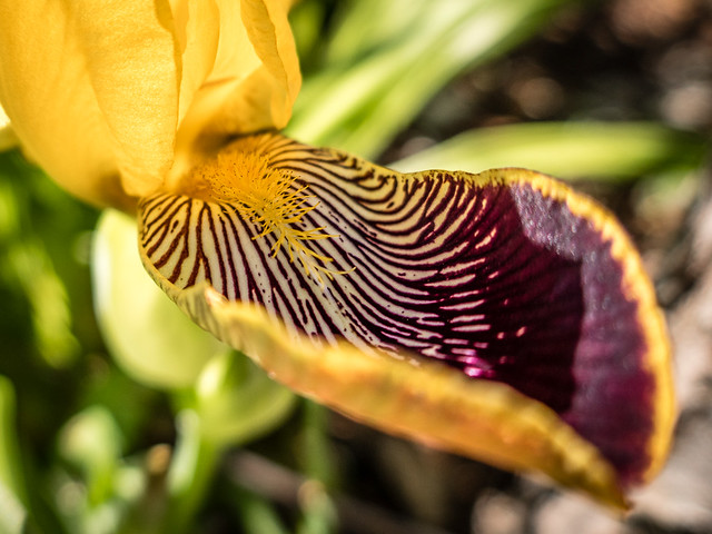 Iris flower closeups