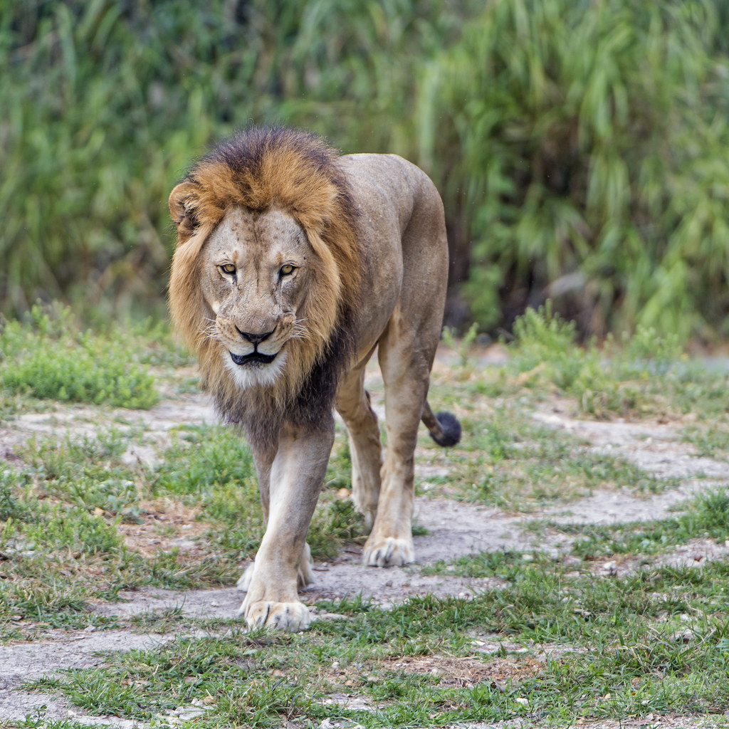 male lion walking one of the male lions of the miami zoo w