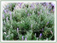 Lavandula phenomenal with lovely foliage in silvery shades, 29 Feb 2016