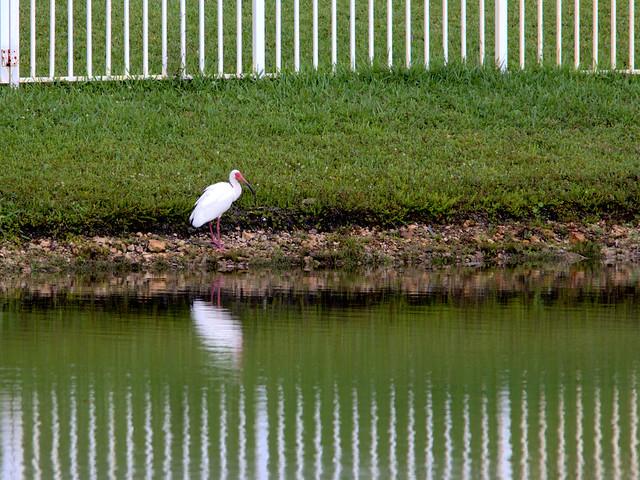 White Ibis 20170605
