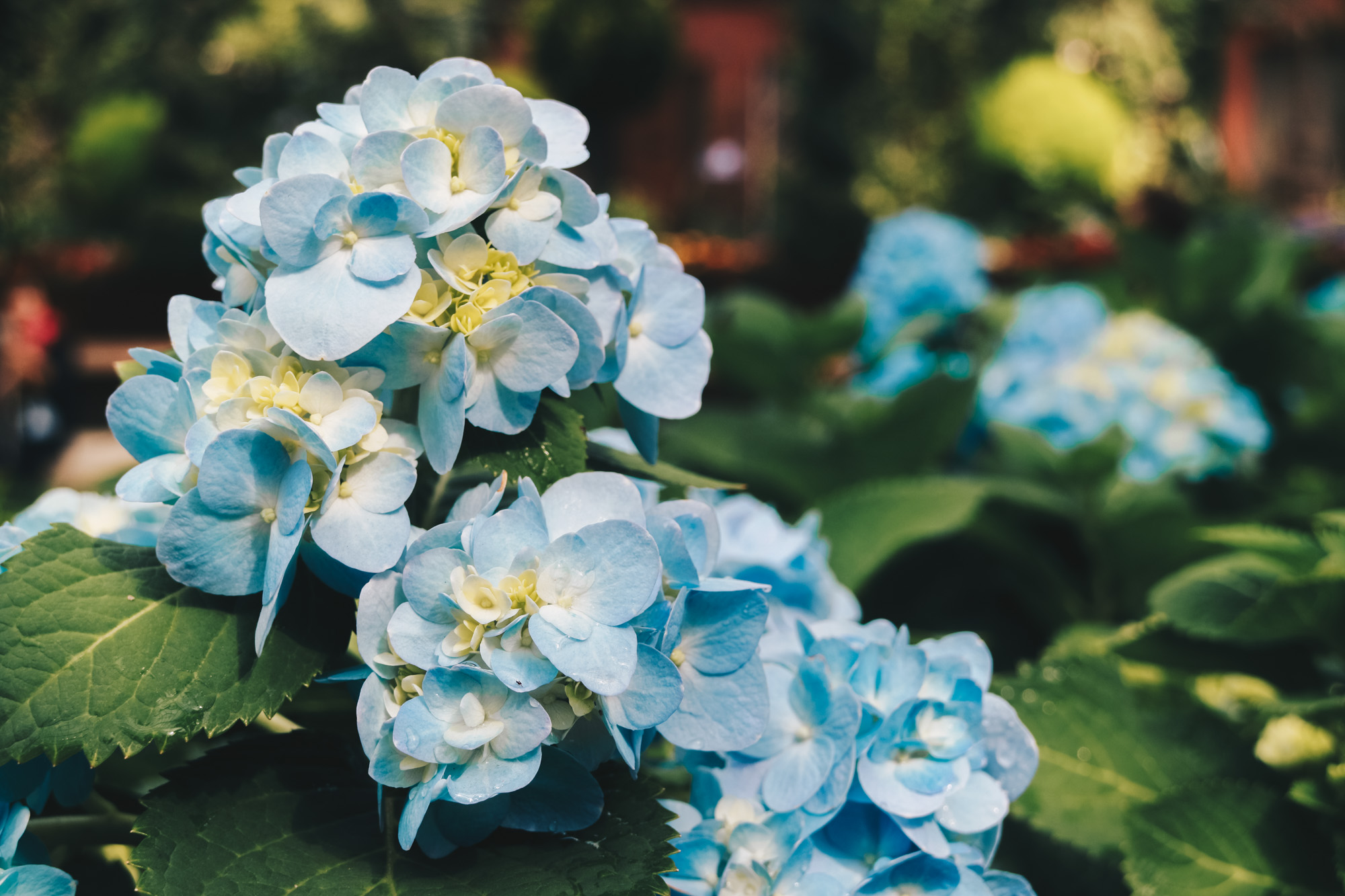 Blue-beauties-floral-display-gardensbythebay-darrenbloggie9