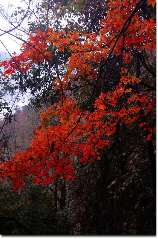 霞喀羅楓紅 4
