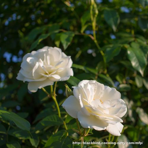 Rose 20170522 #07