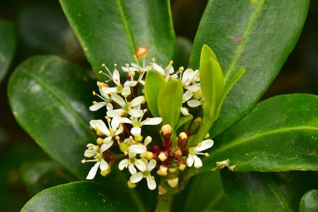 八丈島・三原山に咲く花