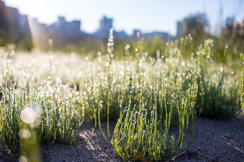 Morning. Dew on horsetail