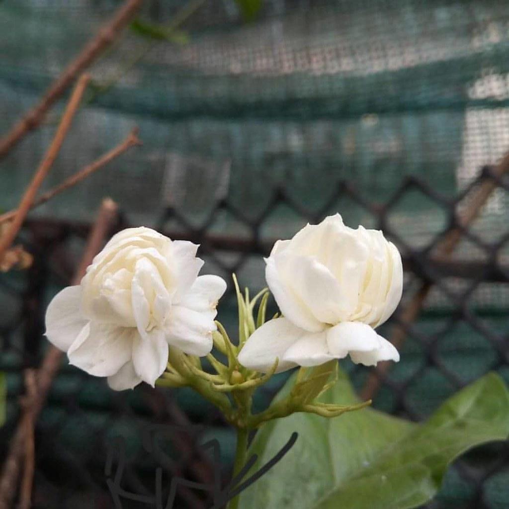 mogra flowers buttonmogra fragrantmogra mograplants te flickr