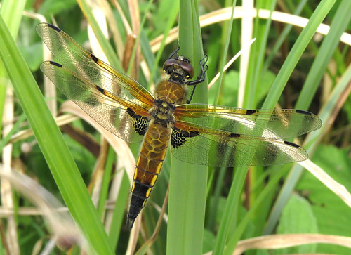 Four-spotted Chaser Libellula quadrimaculata Tophill Low NR, East Yorkshire May 2017