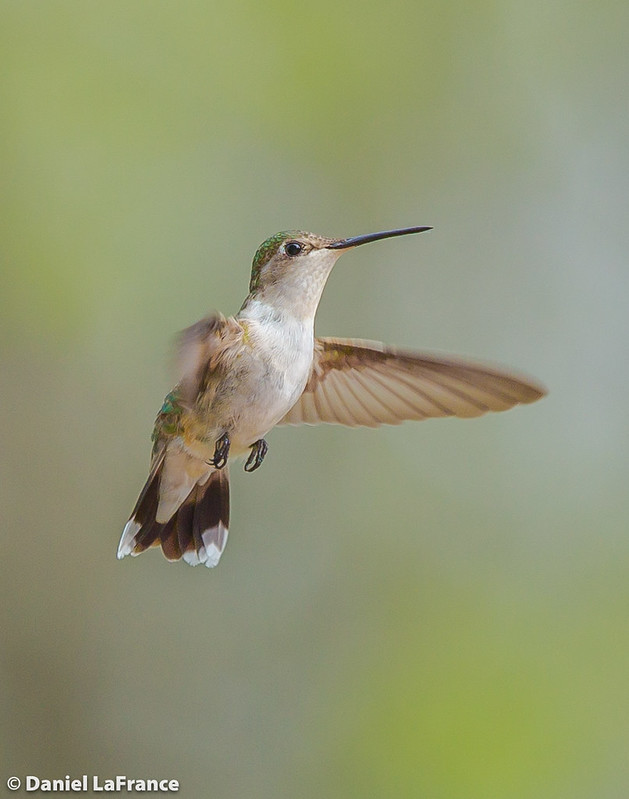 Ruby-throated Hummingbird  (DOL-A-7466)
