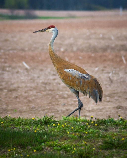 Sandhill Crane, Crane, Bird, Wildlife