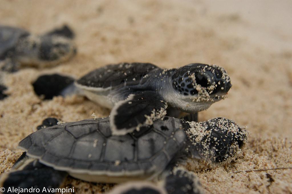 Tortugas recien nacidas rumbo al mar en Akumal