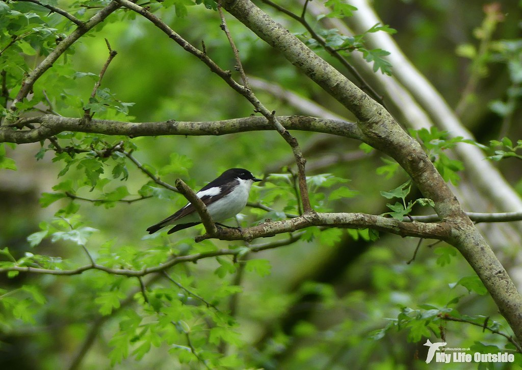 P1080132 - Pied Flycatcher