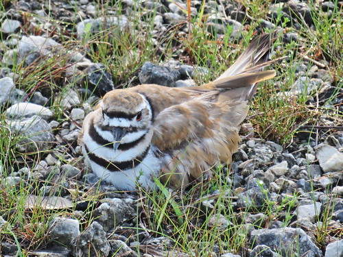 Killdeer on nest ZOOM 01-20170617