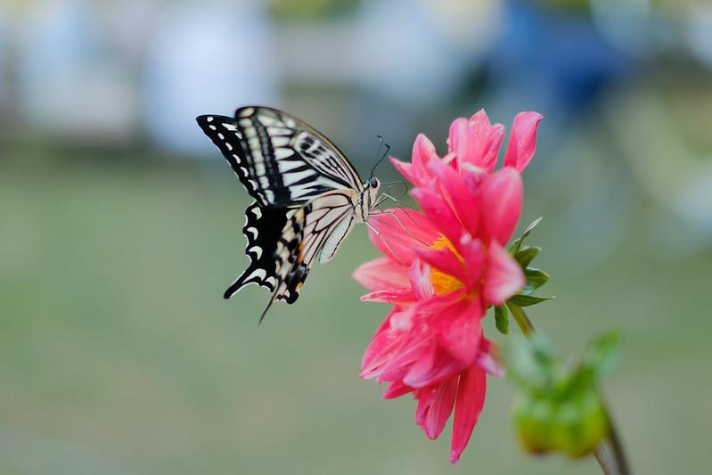 アゲハチョウ Swallowtail butterfly