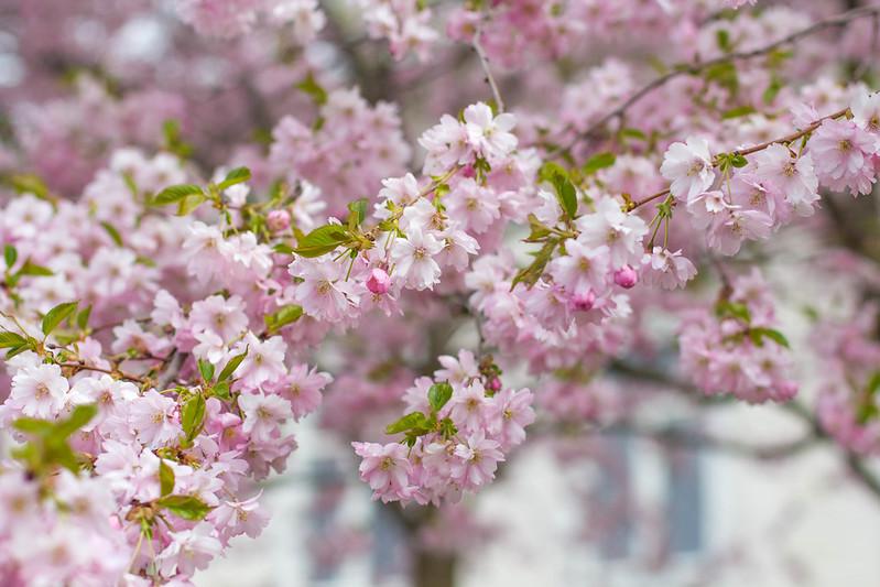 kirsikankukkia1-3213