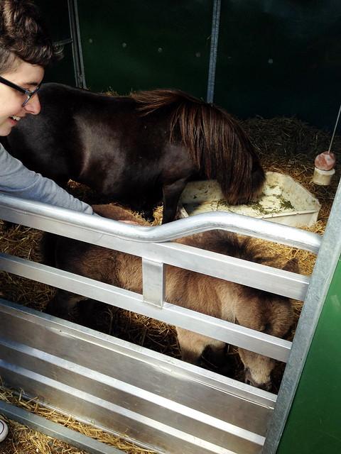 Shetland foal