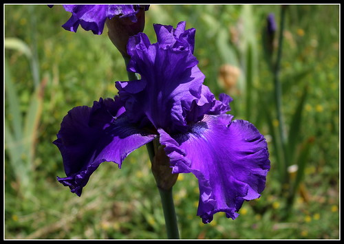 Iris 'Indigo Princess' - Schreiner 1992 35175301065_fd05b70f5d