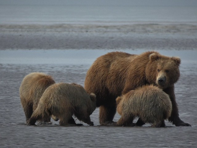 Osos en una playa de Lake Clark National Park (Alaska)