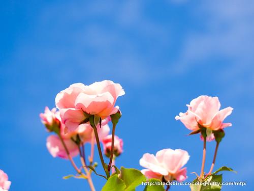 Rose 20170613 #01
