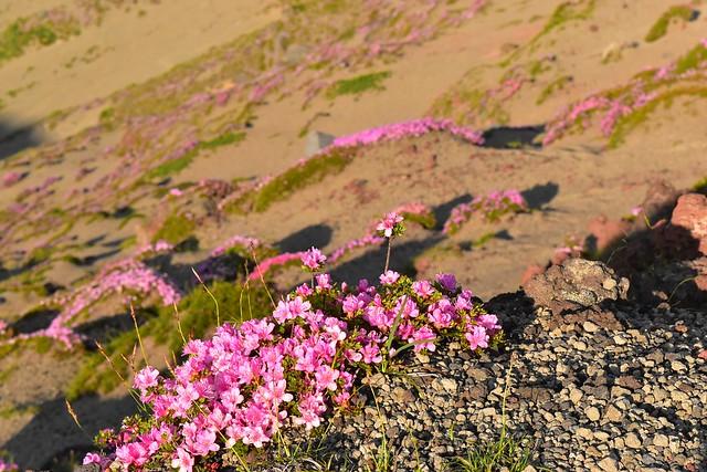 高千穂峰の火口に咲くミヤマキリシマ
